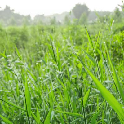 Determinação do valor de cultivo e uso de cultivares híbridos de Brachiaria spp.
