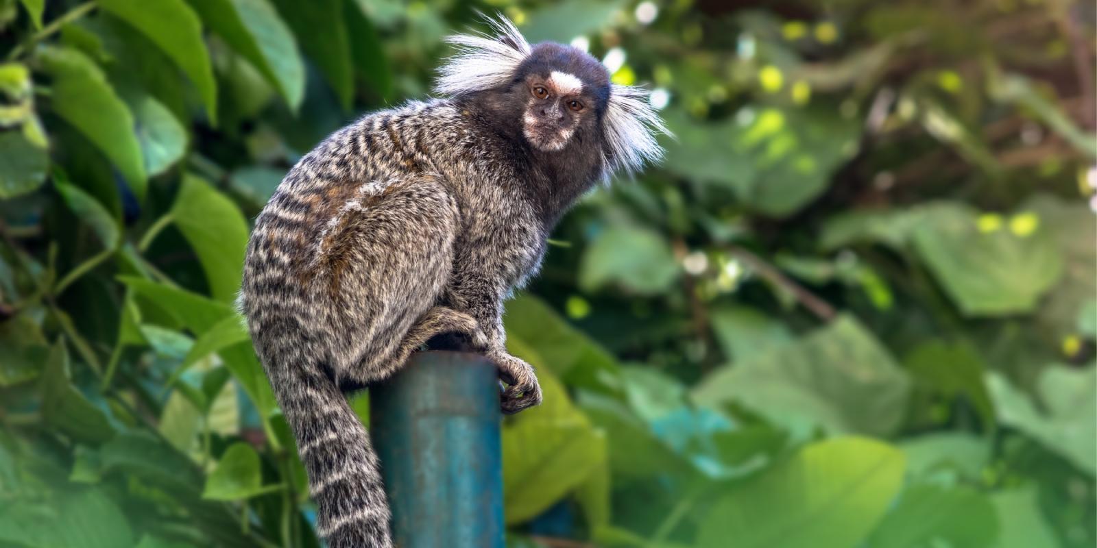 Transmissão de raiva em primatas