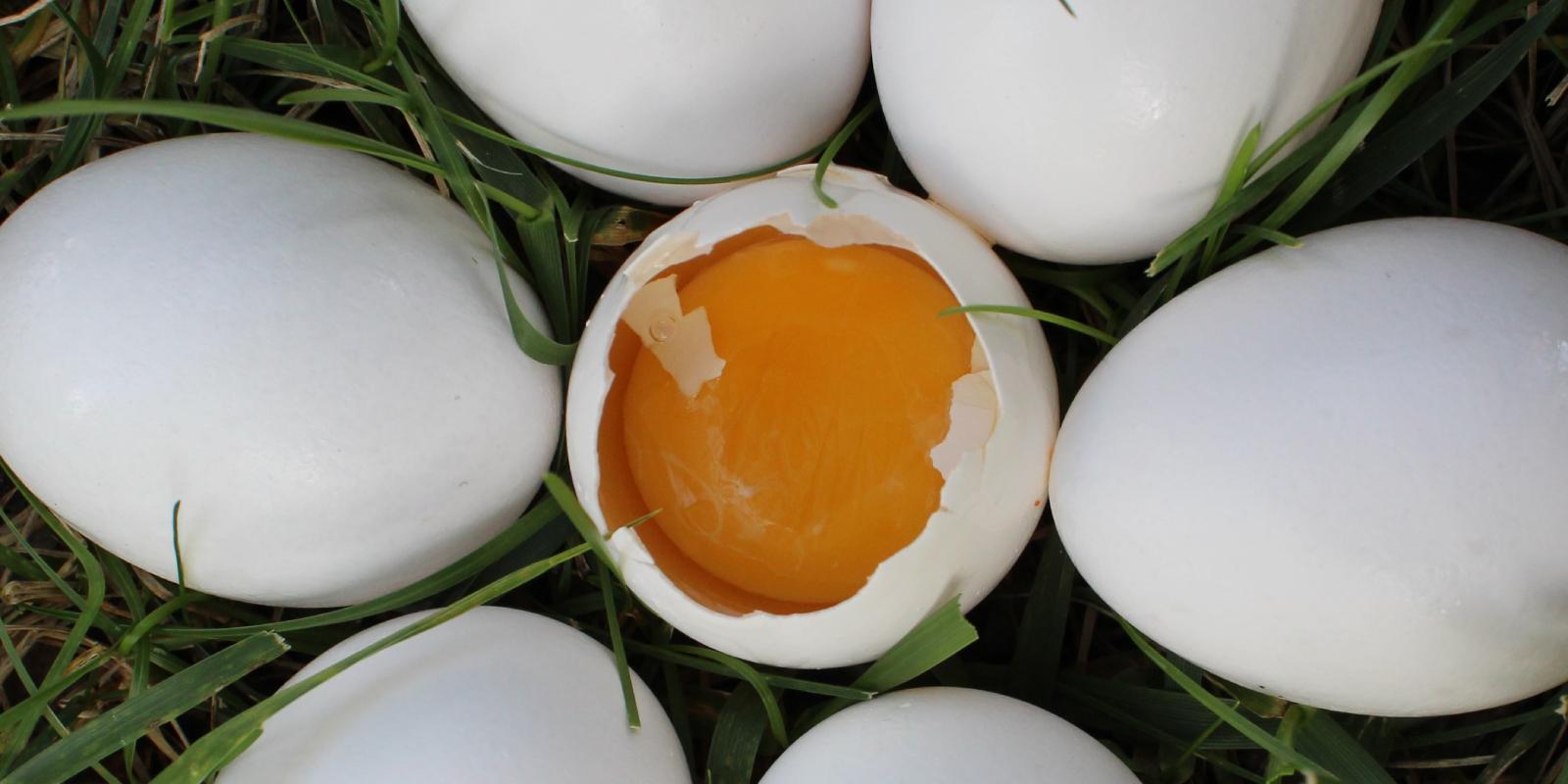 Produtos com imunoglobulinas da gema do ovo